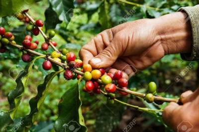 Coffe Plantation