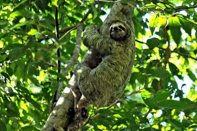 Manuel Antonio National Park Two toed Sloth2